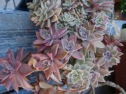 grand lot  BOUTURES plantes façiles a vivre +feuilles verve